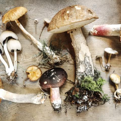 Svampsafari – plocka goda höstsvampar