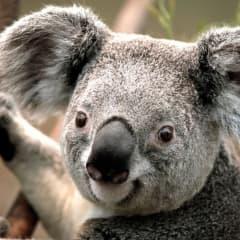 Koala S.